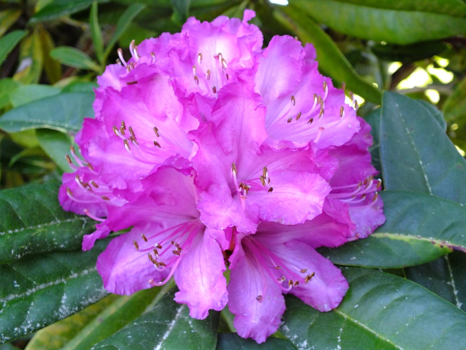 Flor lila flor azul flor verde car interior design - Rododendro arbol ...